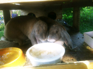2 Female English Lop Does $60 each or $100 for both
