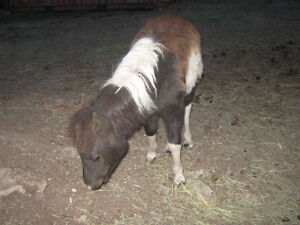Miniature Filly for sale Prince George British Columbia image 4