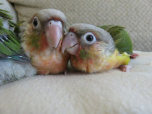** SUPER SWEET HANDFED BABY GREEN CHEEK & PINEAPPLE CONURES **
