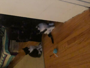 2 twin kittens for good family home