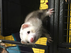 1 year old ferret
