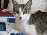 Rescued grey & white tabby female for adoption - Nellie