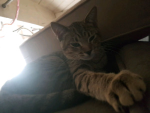 Lost male cat named Sawyer!