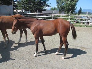 trade registered yearling AQHA bay filly for mechanical flag