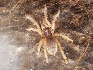 Neoholothele incei (gold colour form) spiderlings for sale