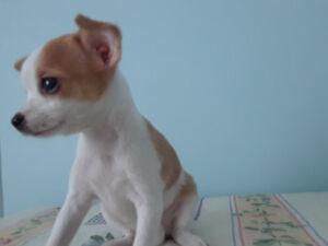 Chihuahua femelle