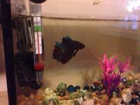 Beta fish + Fully running 5 gal tanks