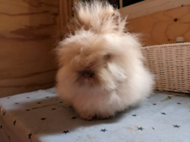 Beautiful lionhead boy