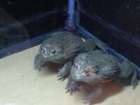 African Bullfrogs for sale (Pixie frogs)
