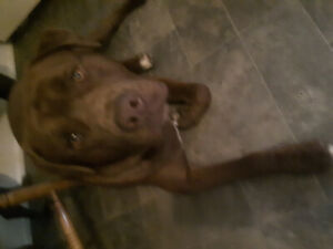 10 month old Cane Corso mix brown puppy to a perfect home UTD