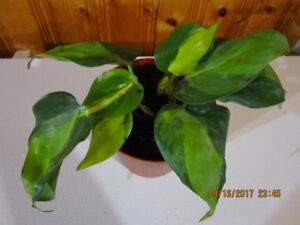 Brazil - (Philodendron Scandens) Plant - Low Light