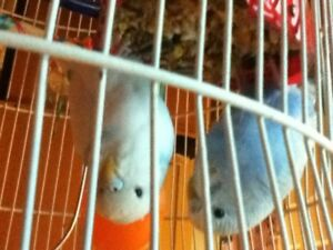 budgies for sale comes with stuff for them n cage
