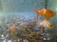 goldfish  free