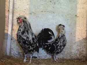 MOTTLED HOUDAN Chicks for sale