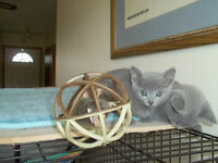 Russian Blue Female Kittens able to be Registered