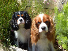 ****PRIVATE HOME BOARDING FOR CAVALIER KING CHARLES SPANIELS**** Emu Heights Penrith Area Preview