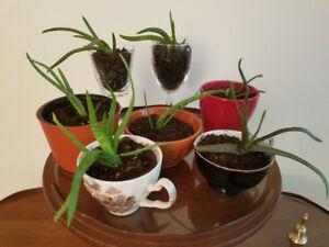 ALOE PLANTS in CHINA TEA CUPS & CRYSTAL GLASSES  - VERY HEALTH
