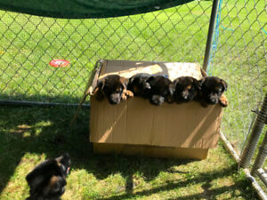 Pure-Bred German Shepherd Puppies For Sale ~ September 13th.