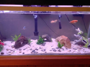 Wtt 1 blue opal and 3 gold Gourami for some Angel fish
