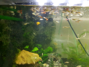Guppies , Molly, ramshorn snails & floating plants