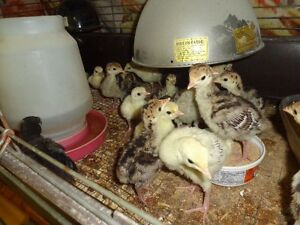 Heritage turkey poulty's for sale