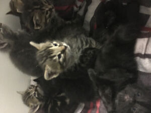 Kittens for sale  fort mcmurray
