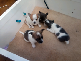 Chihuahua smooth coat puppies for sale