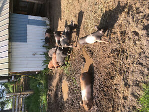 Pigs and piglets for sale