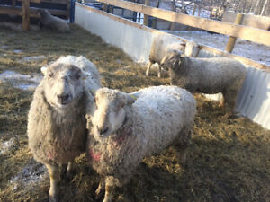 Purebred Rams For Sale