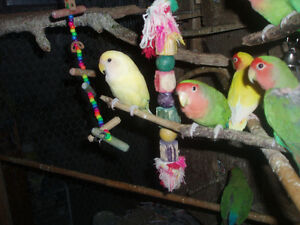 LOVEBIRDS FOR SALE NEW BABIES READY TO HAND FEED Sarnia Sarnia Area image 3
