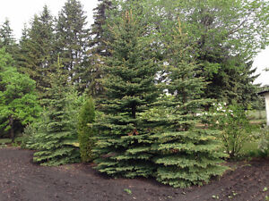 Spruce trees -- 15-20 ft tall