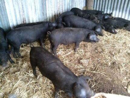 BERSHIRE CROSS LARGE BLACK PIGLET FOR SALE Tullamarine Hume Area Preview