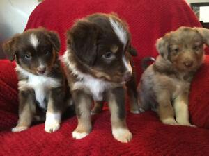 Adorable Miniature Australian Shepherd Puppies