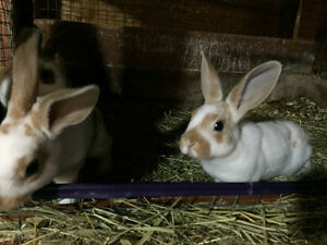 Pure bred Mini Rex