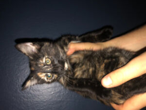 Tortoise shell kitten for sale!!