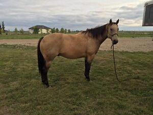 6 year old papered head horse for sale