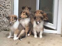 Rough Collie Puppies (Lassie)