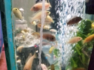 Down sizing, cichlids and tilapia for aquaponics.