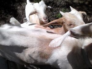Goats ready for a new home