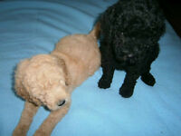 SMALL STANDARD POODLES