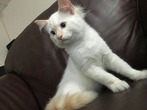 Purebred flamepoint ragdoll kitten for sell