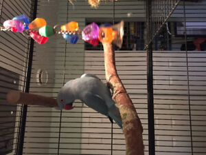 Blue Female Ringneck 2 years old