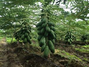 Papaya Formosa Fruit (25) Seeds - Carica Papaya   Tree Melon