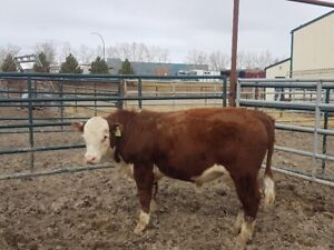 Purebred Polled Herfords yearling Bulls and Open Heifers