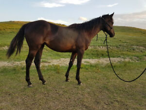 Super athletic Warmblood cross filly