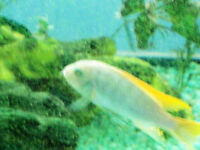 Blue (Mbuna) African Cichlid for Sale