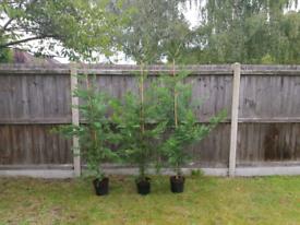 6ft Leylandii / Conifer trees