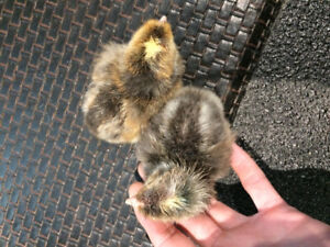 Cream Legbar chicks for sale