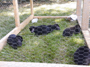 Holland Lop Bunnies (FREE)
