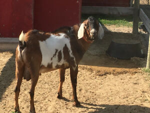 Two year old registered Nubian buck for sale